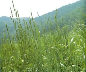 timothy pasture grass seed